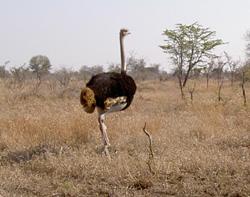 """ostrich"""""""