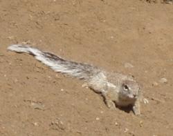 Ecureuil d'Afrique