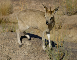 Klipspringer jumper