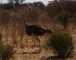 Autruche botswana