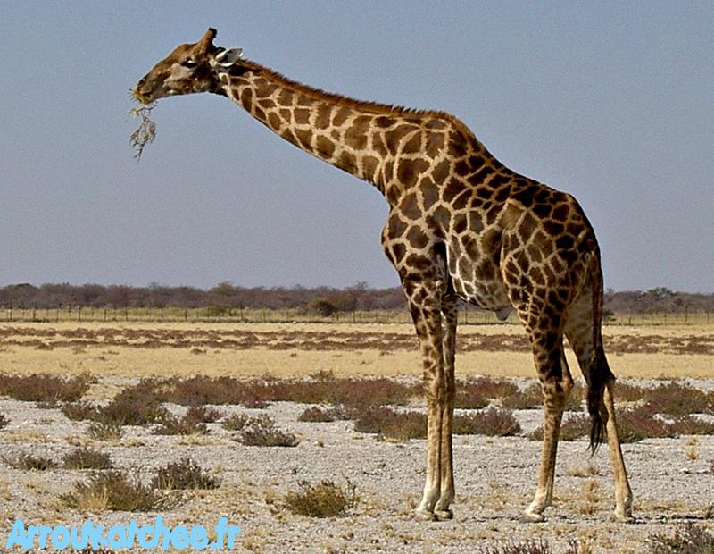Une girafe etosha for Prix d une girafe a poncer